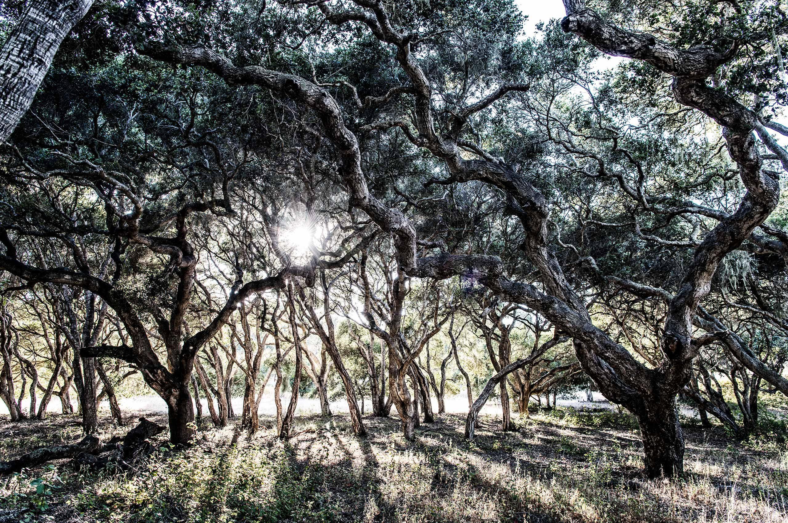 Trees-Sun-Walden-Monterey-HenrikOlundPhotography.jpg