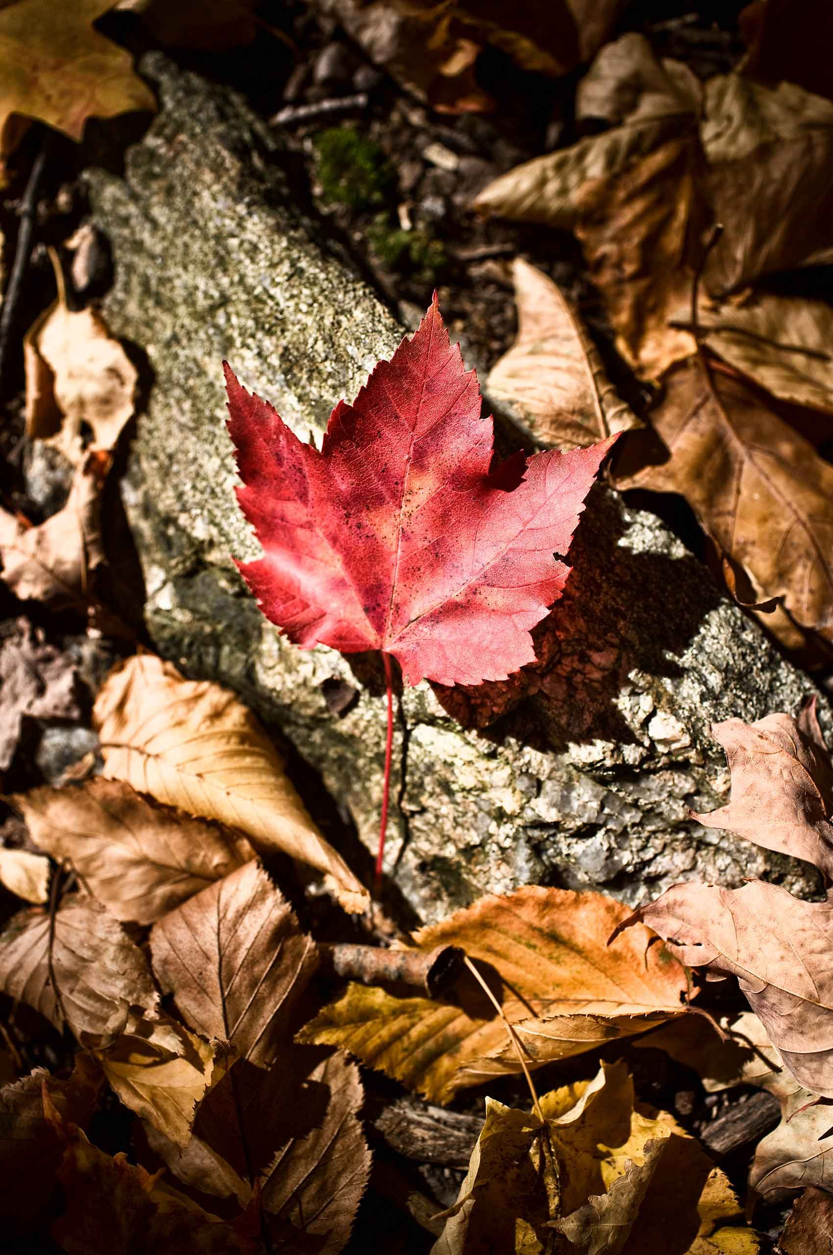 Autumn Leaf, New York     $450