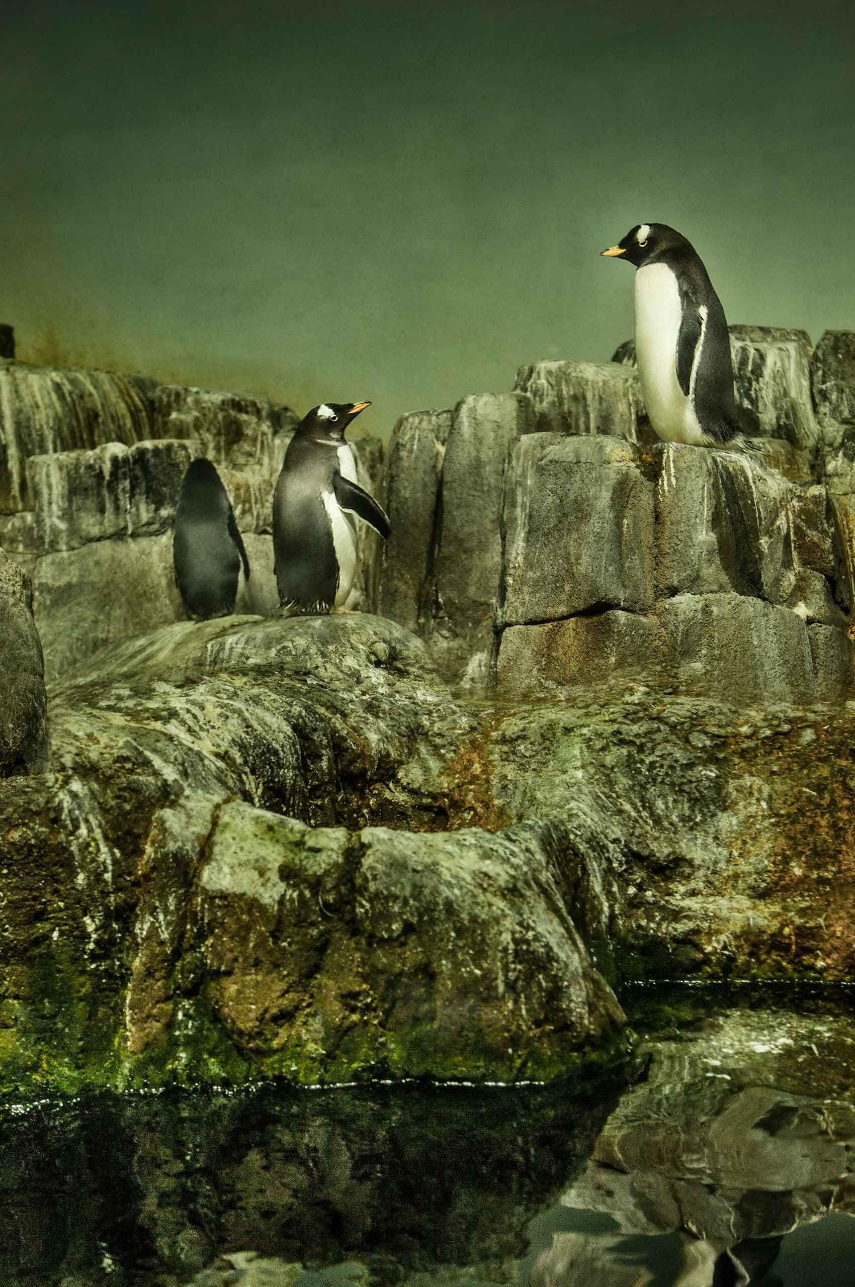 penguins-centralParkZoo-by-HenrikOlundPhotography.jpg