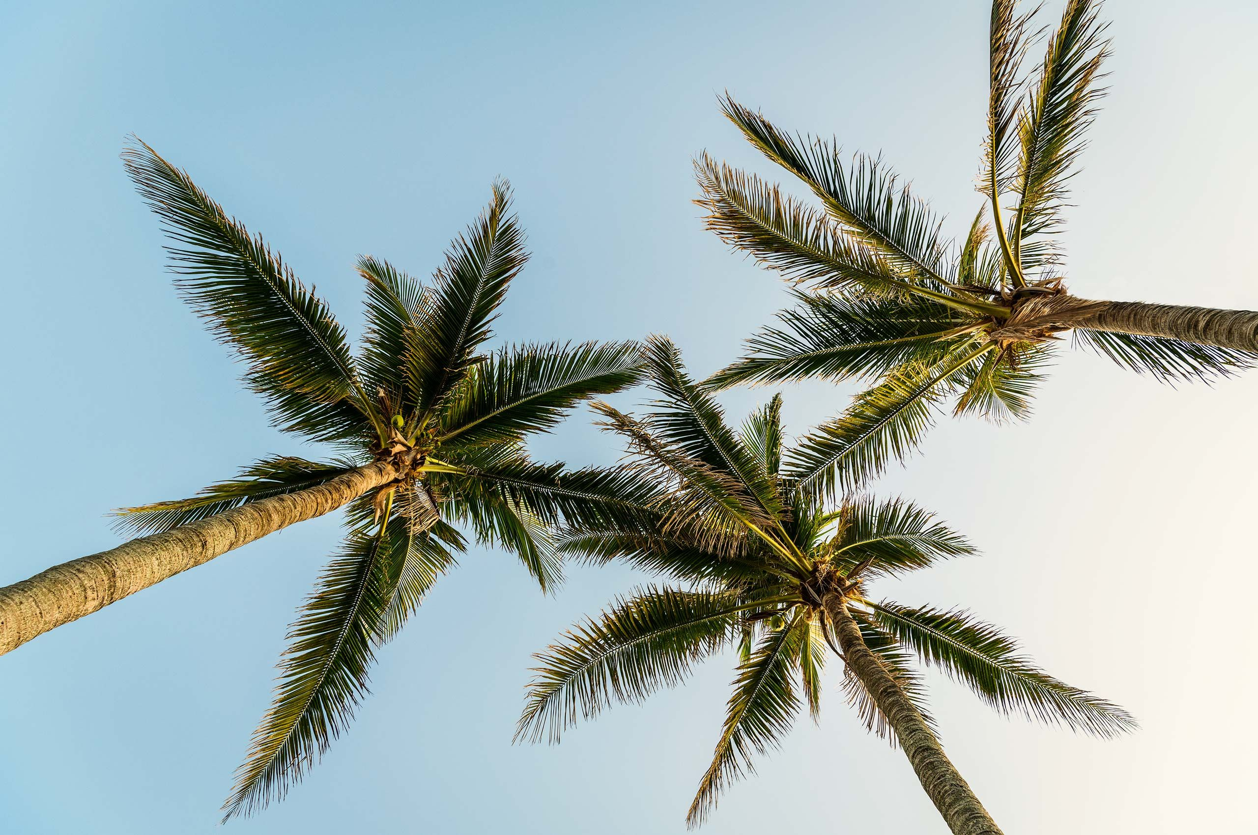 Palmtrees-against-sky-HenrikOlundPhotography.jpg