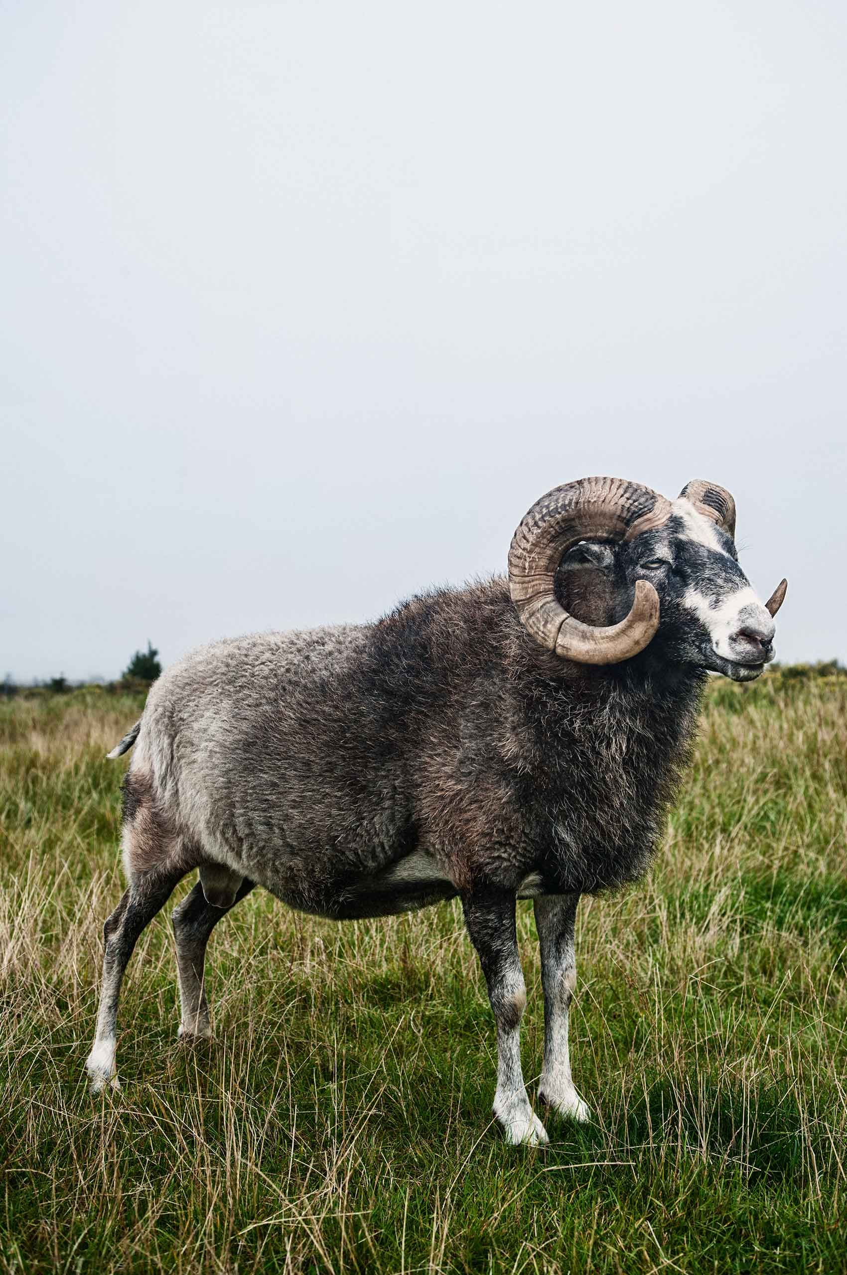 swedish-goat-bock-by-HenrikOlundPhotography.jpg