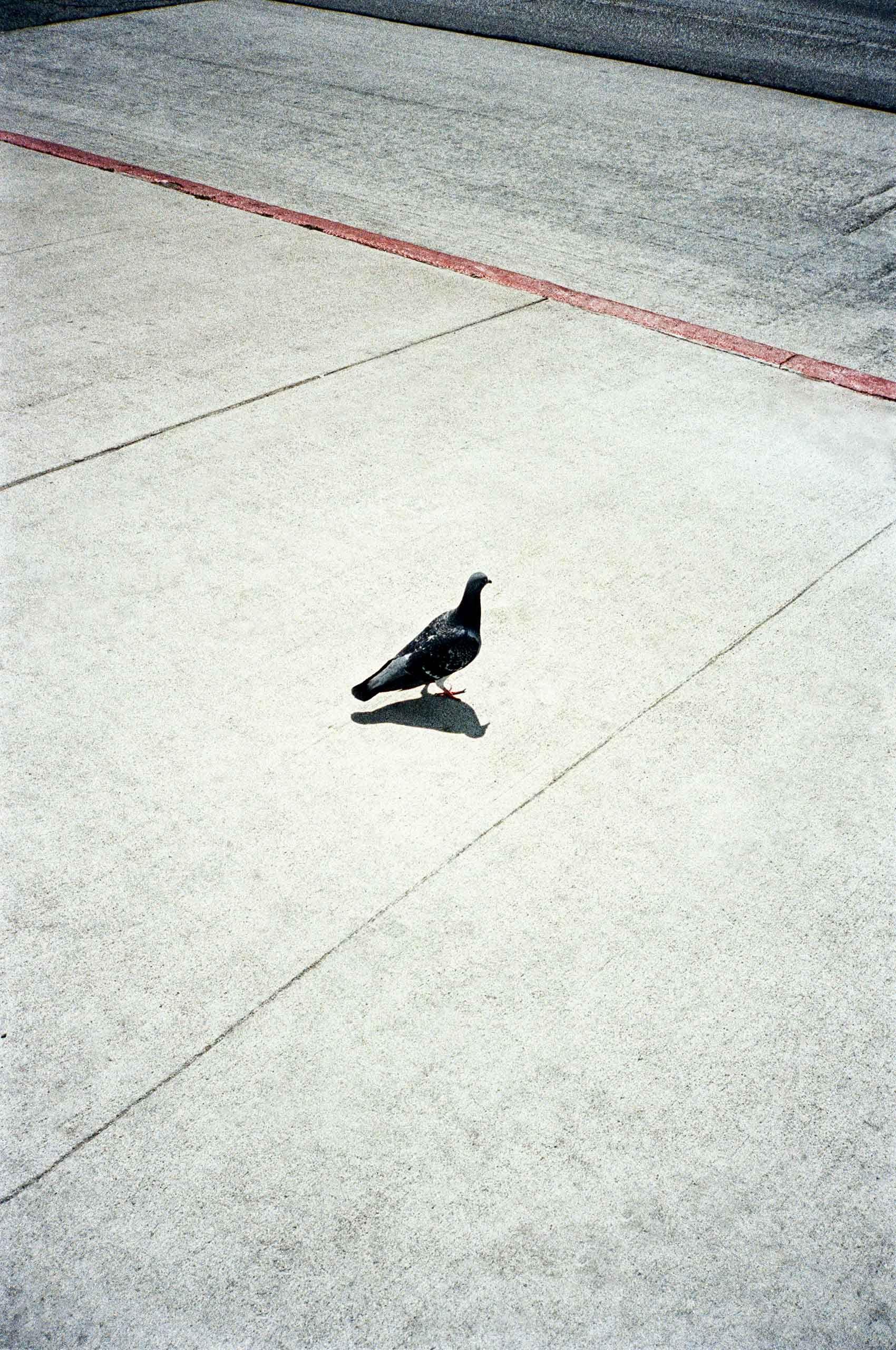 Dove-on-street-LosAngeles-by-HenrikOlundPhotography.jpg