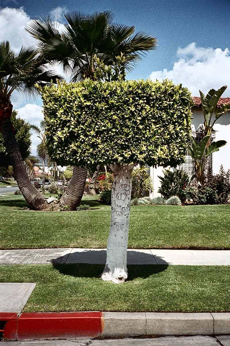 Manicured tree, Los Angeles.