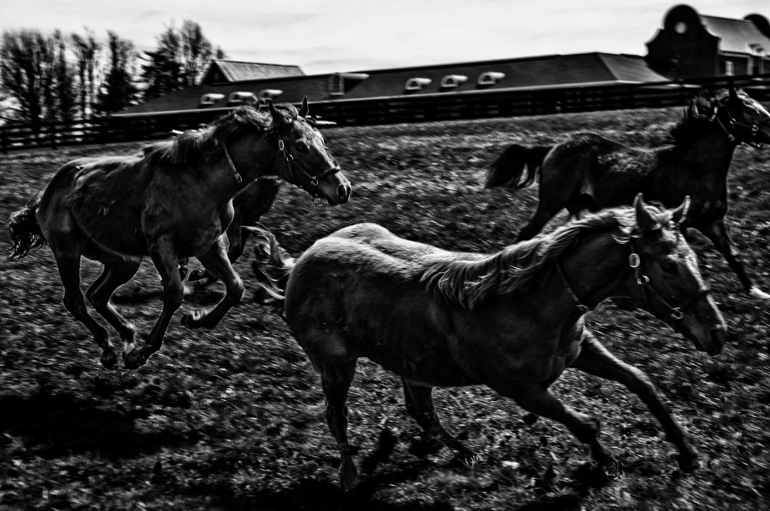 horses-running-free-lexington-kentucky-HenrikOlundPhotography.jpg