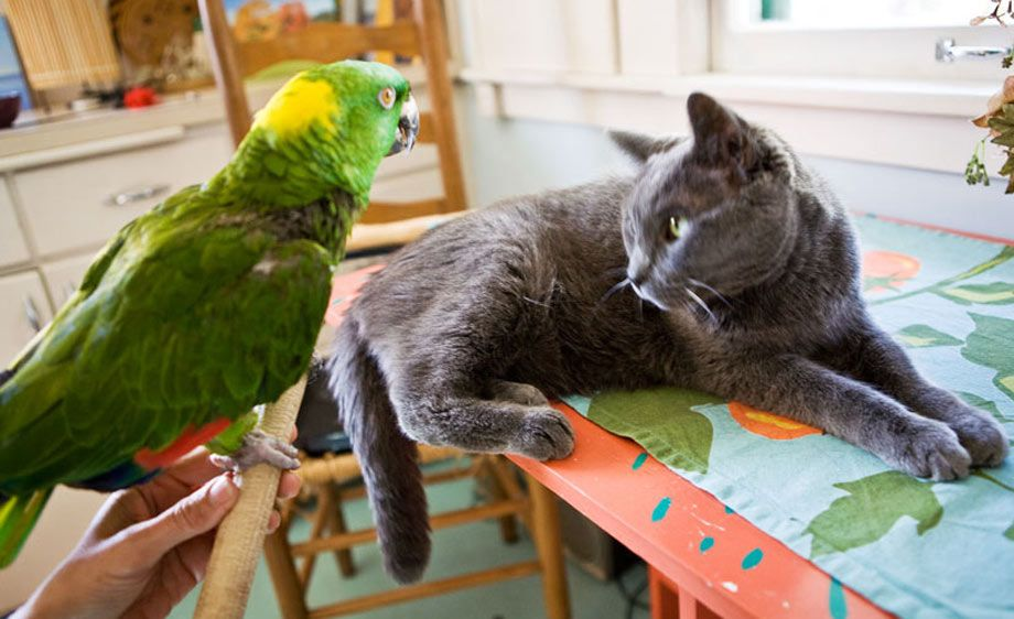1Parrot_and_Cat_2.jpg