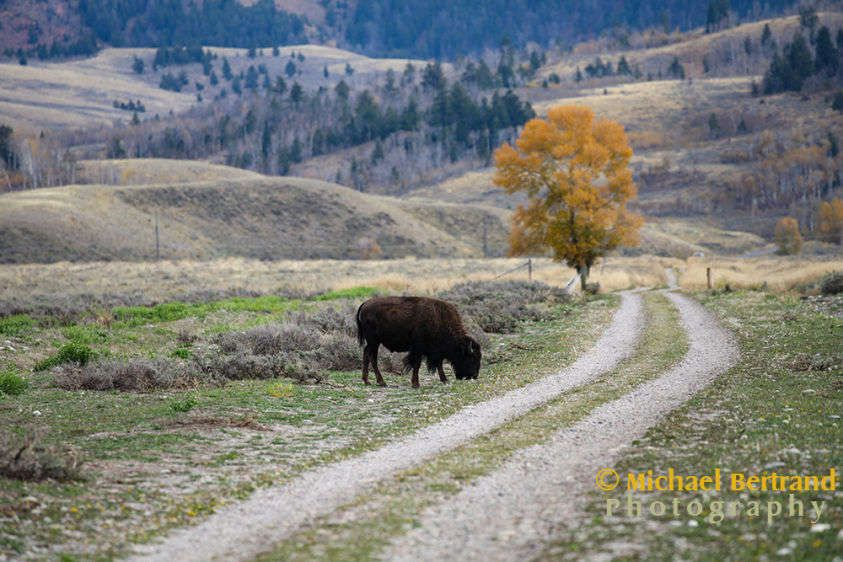 Bison on a Country Road