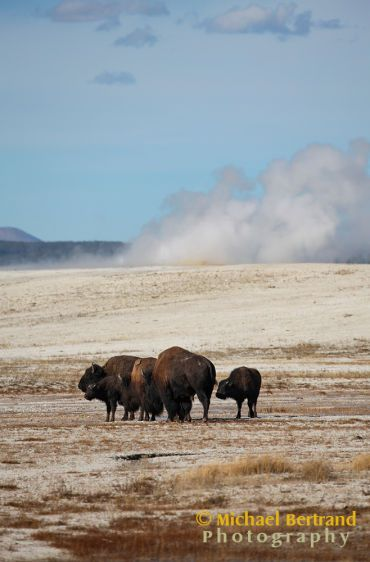 Bison and Geysers 2
