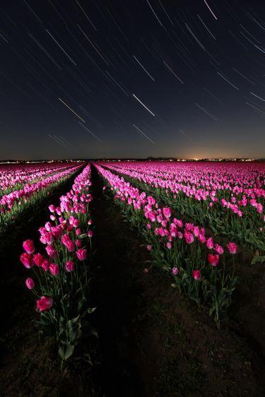 Tulips at Night