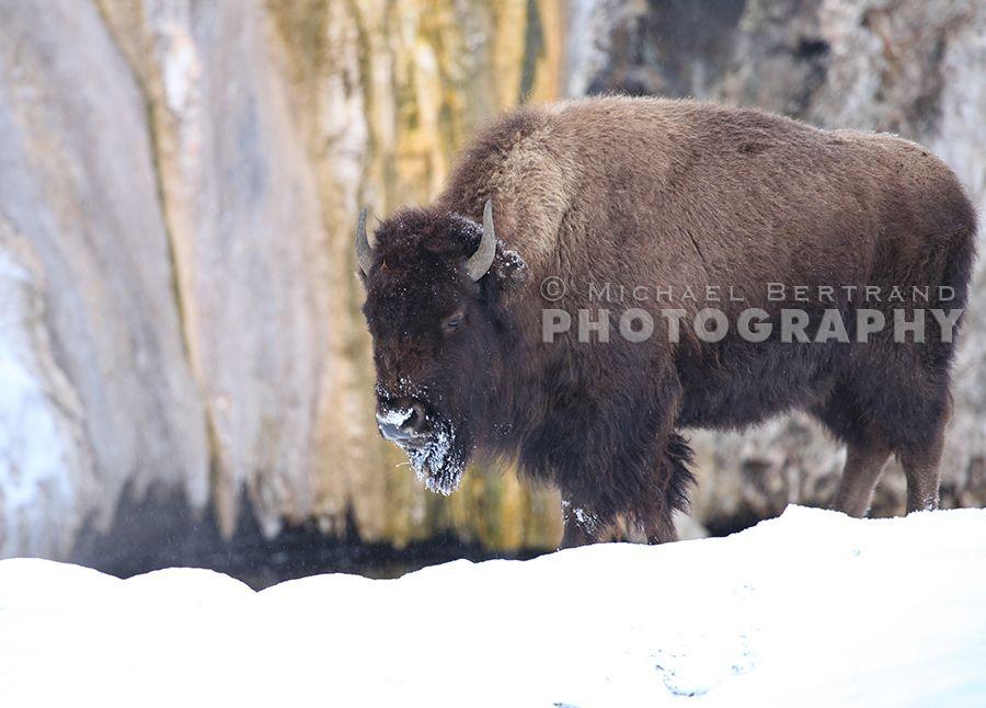 Majestic Yellowstone