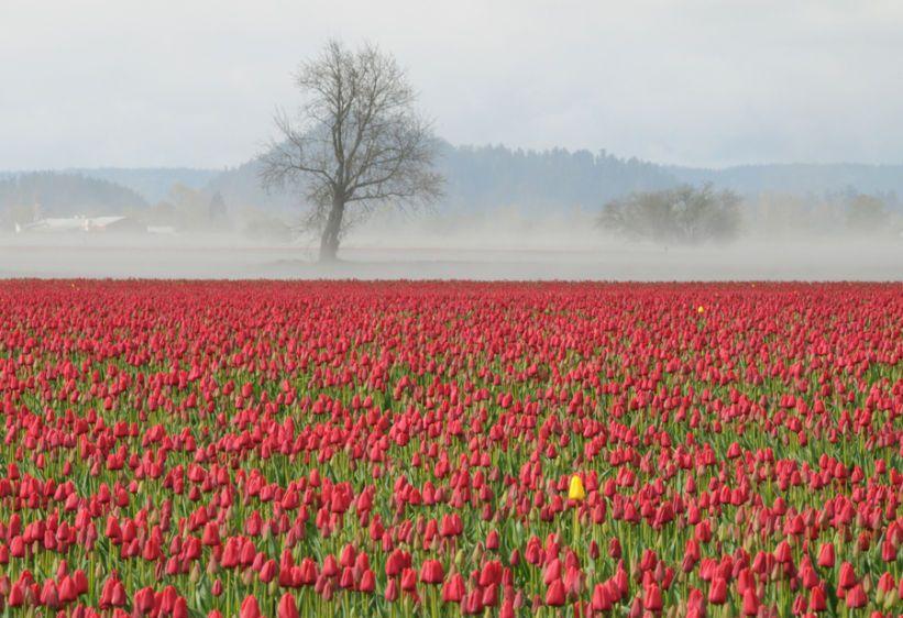1Tulip_fields_1275_crop_livebooks.jpg