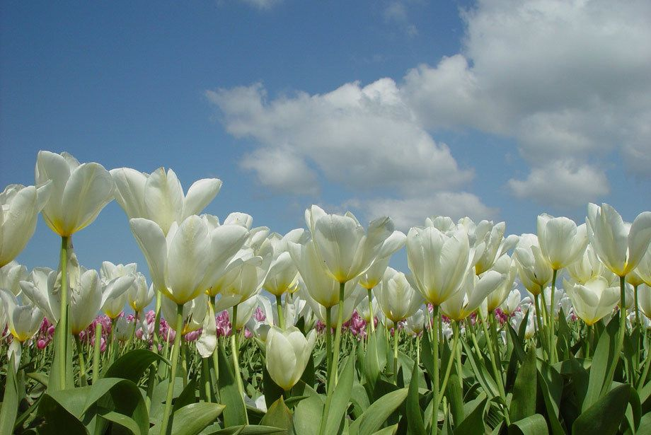 Clouds of Tulips