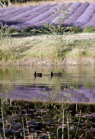 Lavender Ducks