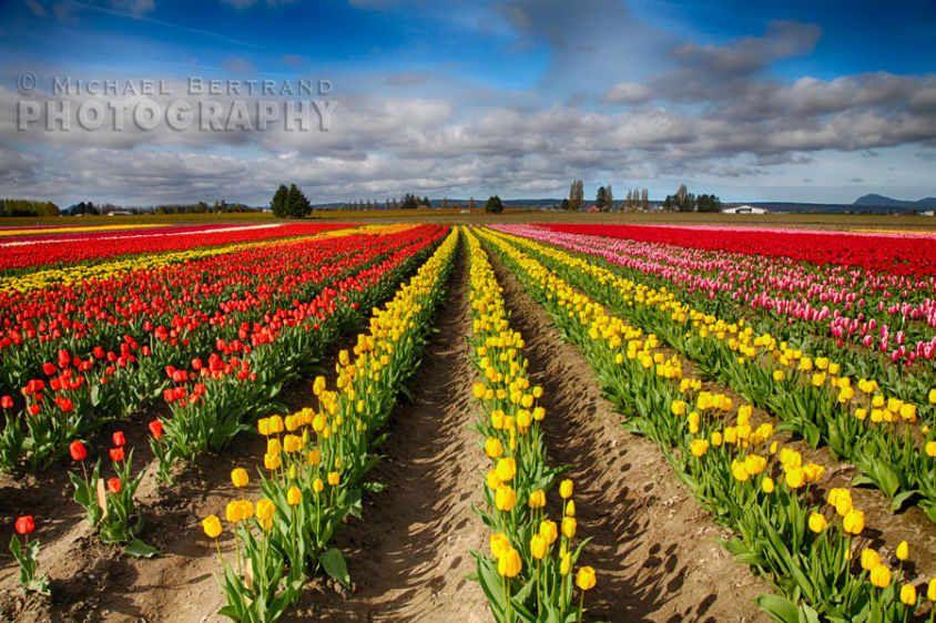 Tulip Field Landscape