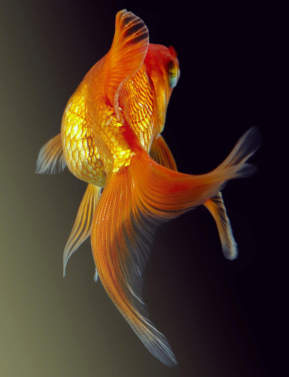 goldfish 108v2.jpg