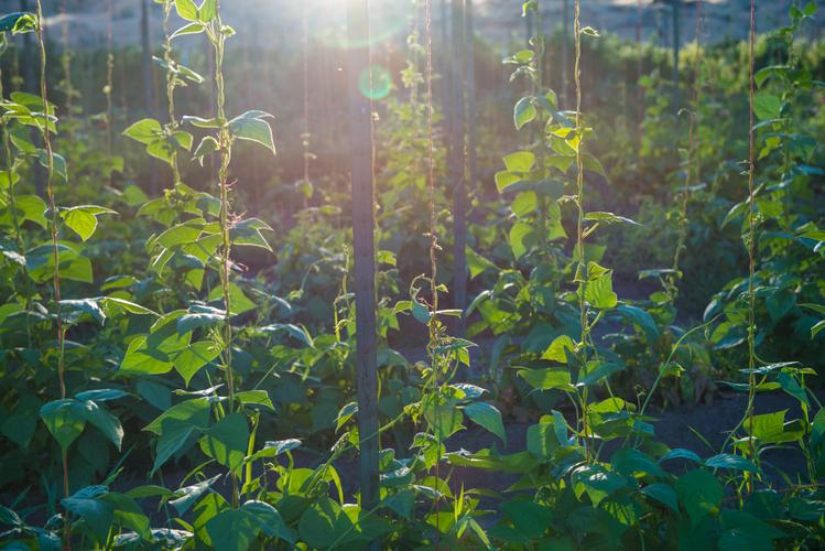 Vines in the sun farm
