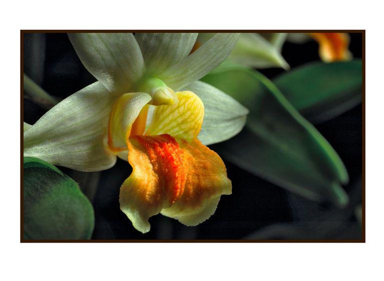 1r1__Orchid_Dendrobium_Frosty_Dawn