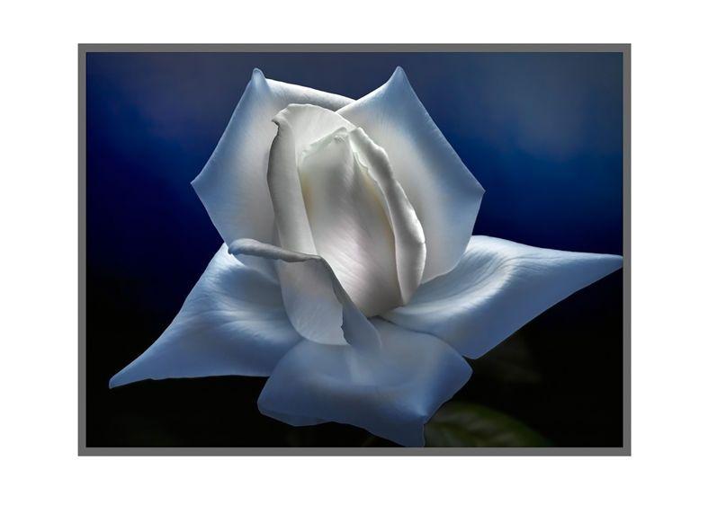 1r18__White_Rose_2_