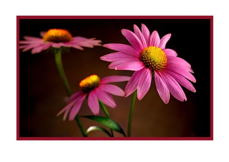 1r25___Echinacea_Cone_Flower_