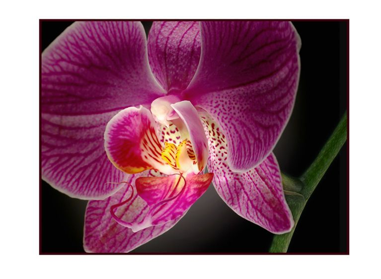 1r2__Single_Red_Orchid_