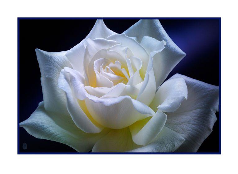 1r10__White_Rose_