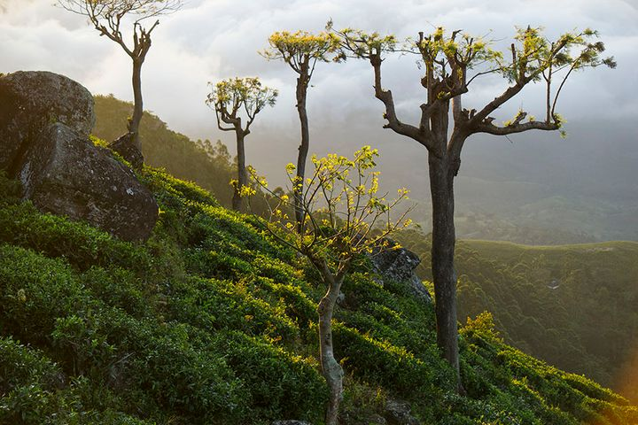 teaplants.jpg