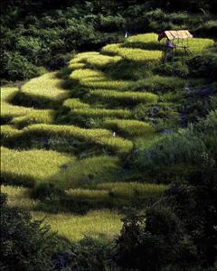 Bhutan rice patties