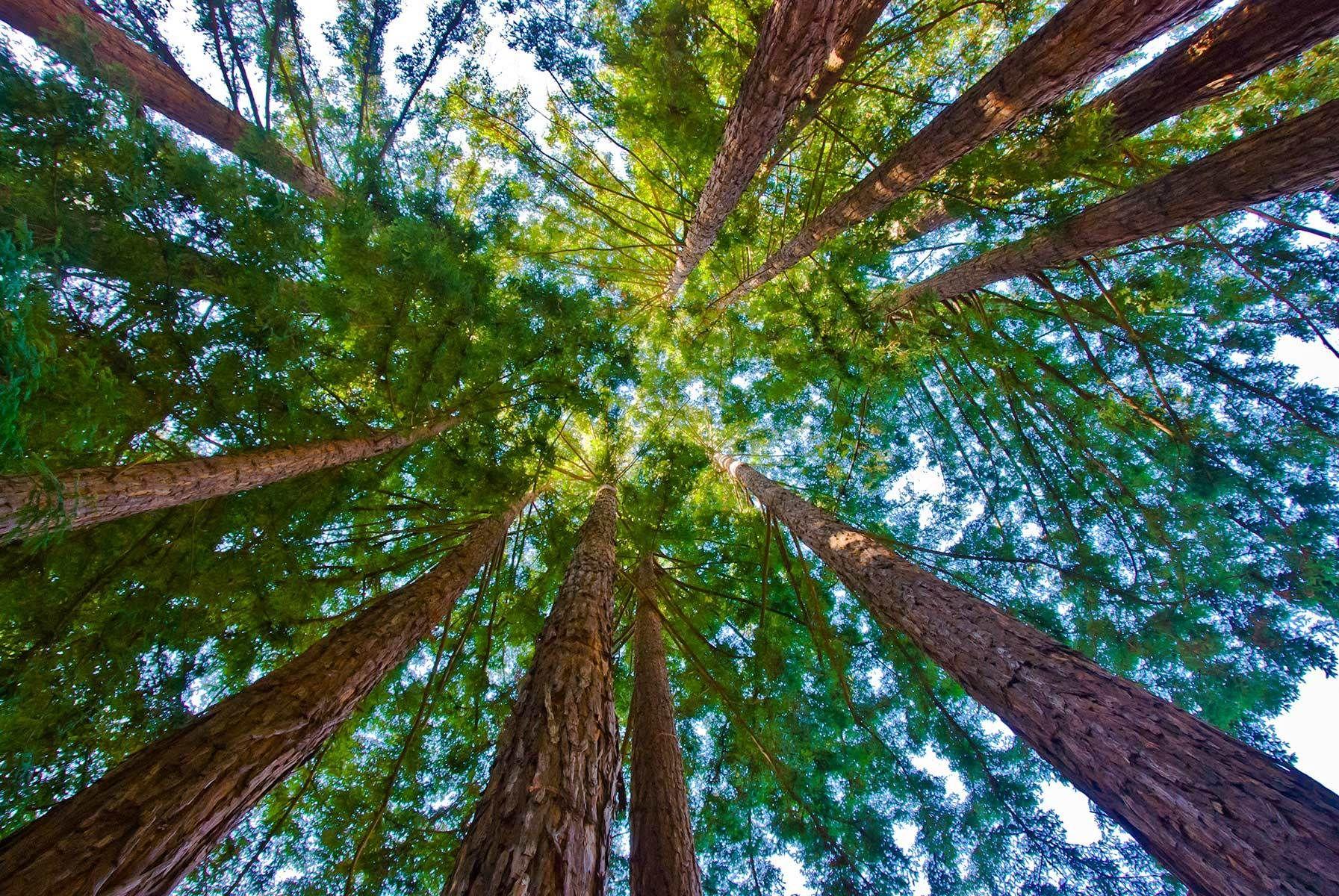Redwoods, Henry Cowell State Park, Felton, California