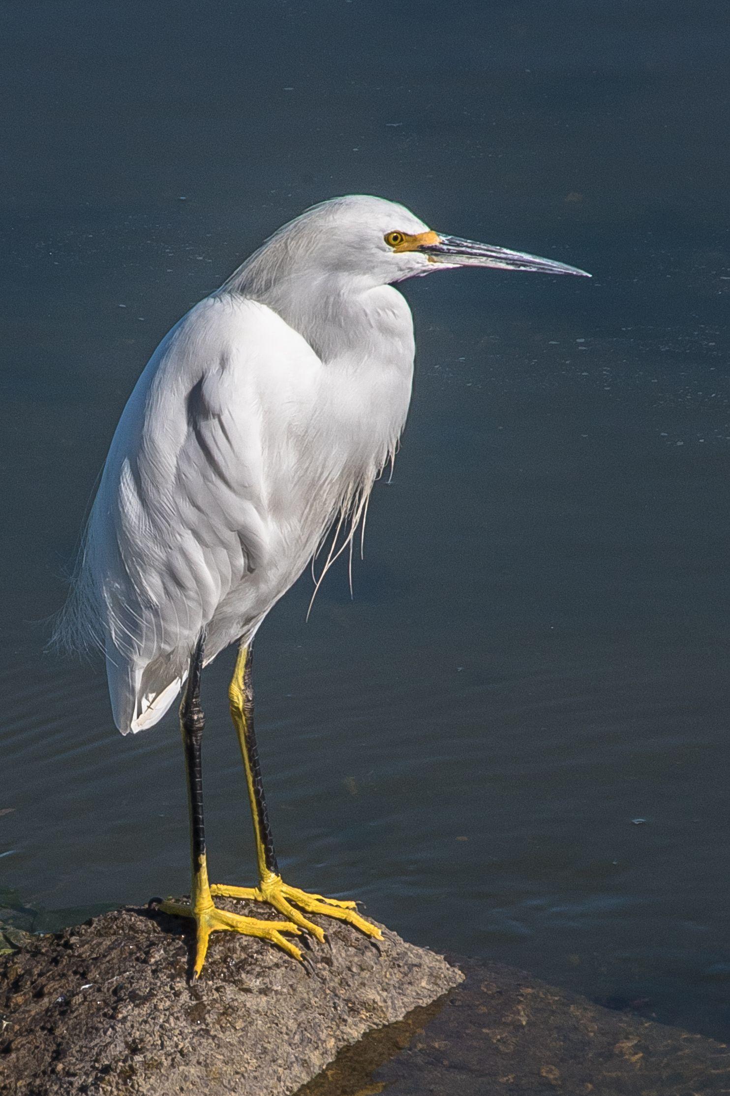 Egret, Moss Landing, California