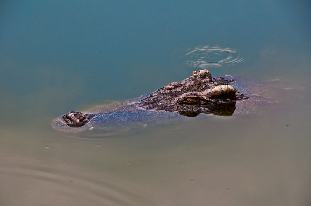 Crocodile, Mekong Delta, Southern Vietnam