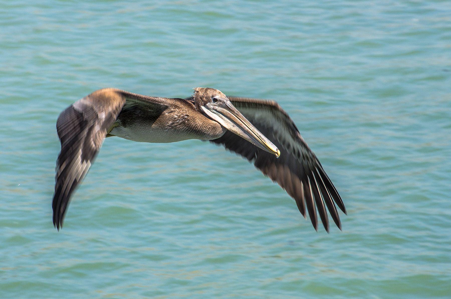 Pelican in Flight, Santa Cruz Coastline, California