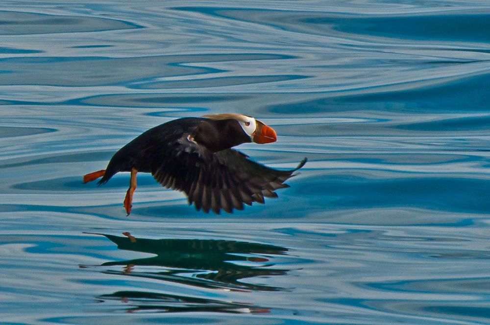 Tufted Puffin, Prince William Sound, Alaska