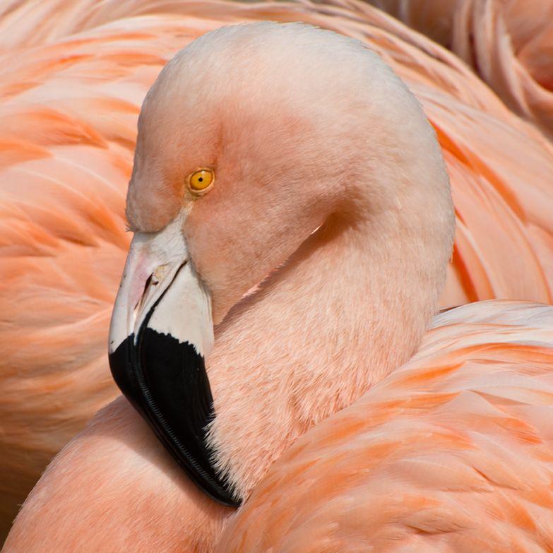 Flamingo, San Francisco Zoo