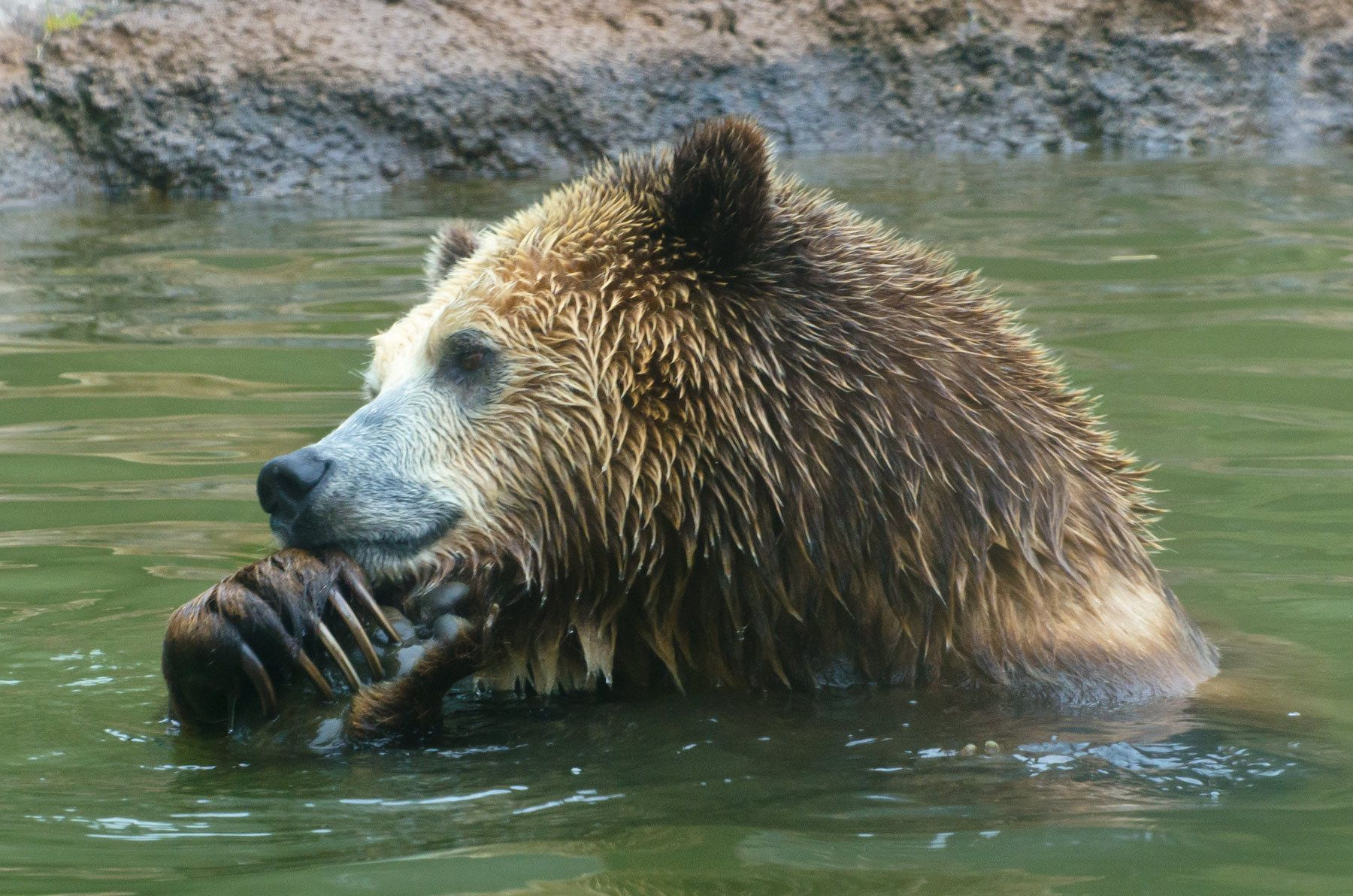Brown Bear, San Francisco Zoo