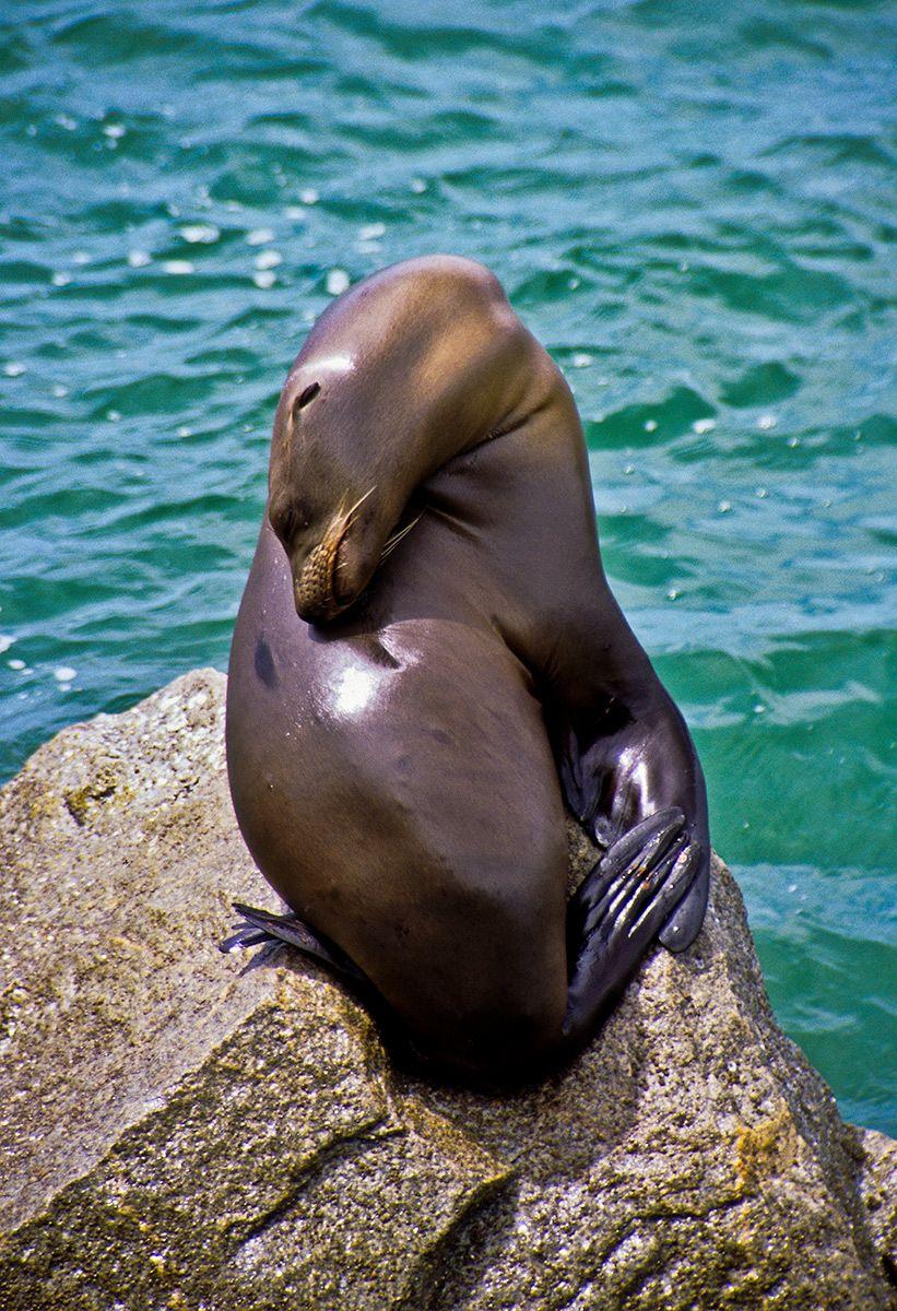 Resting Seal, Monterey, California