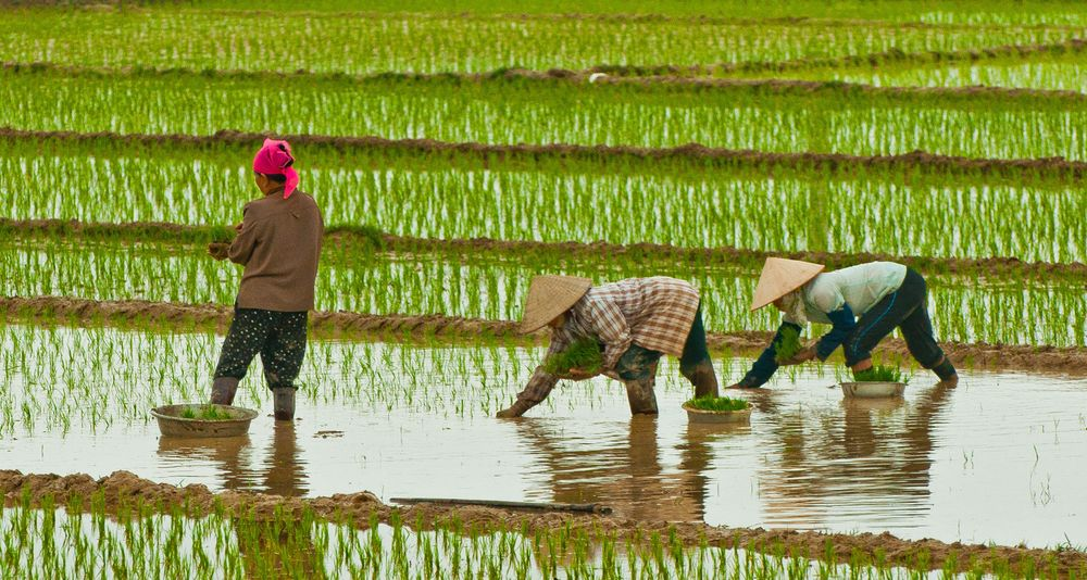 Women planting Rice, Central Vietnam