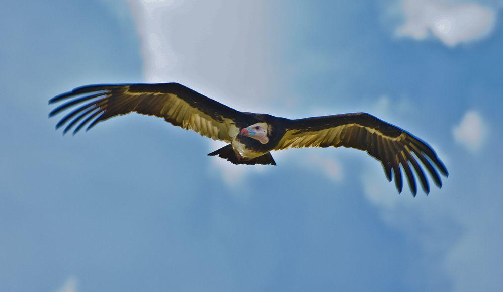 Flying Vulture, Tarangire National Park, Tanzania