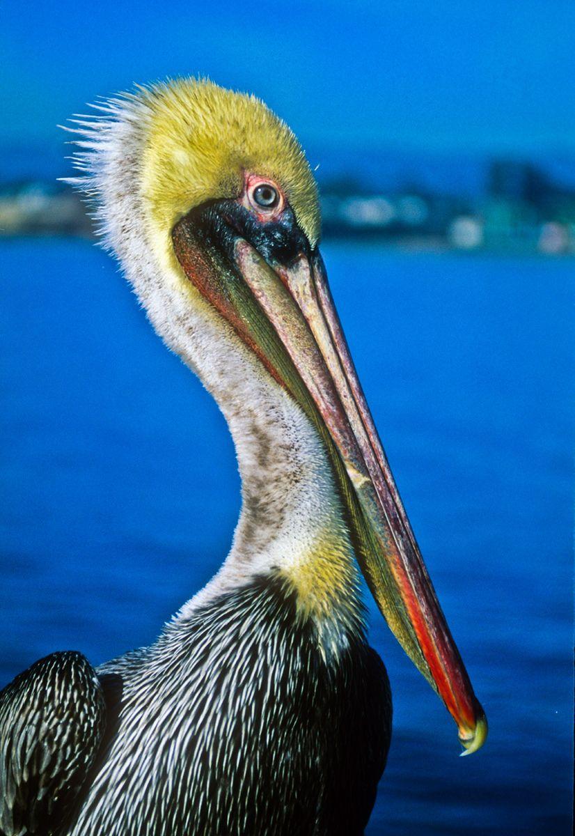 Pelican, Santa Cruz Harbor, California