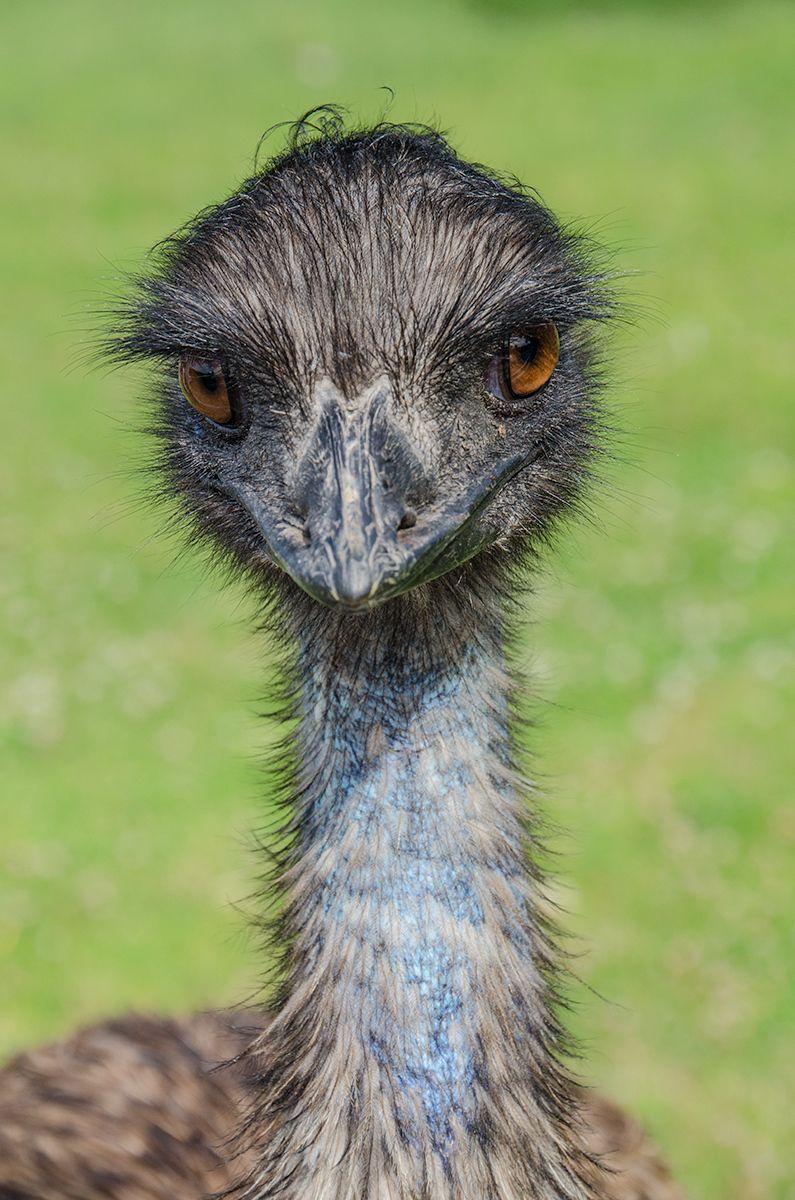 Emu, Castello di Amorosa Winery, Napa, California