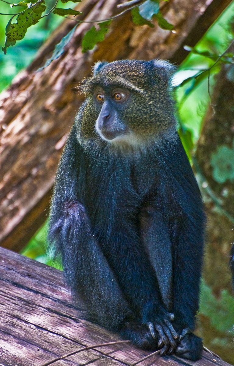 Blue Monkey, Arusha National Park, Tanzania