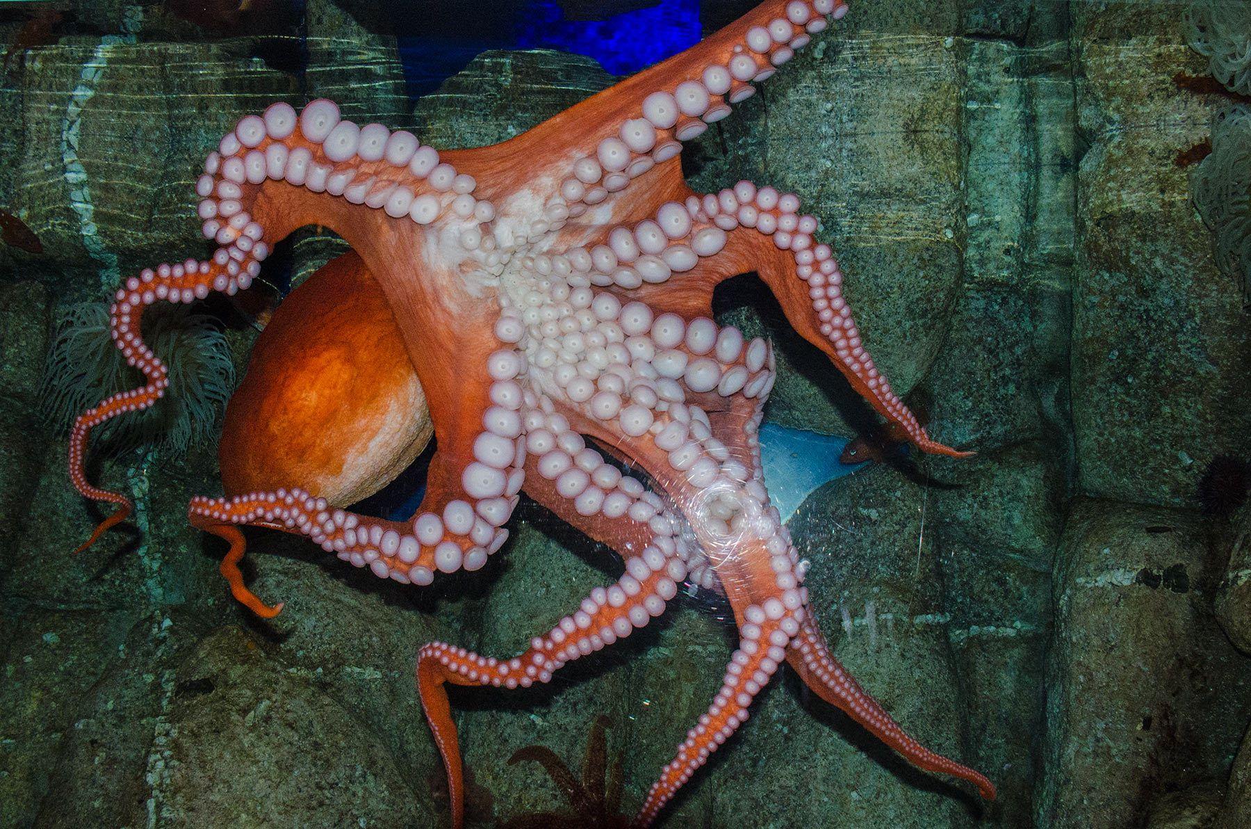 Octopus, Monterey Bay Aquarium, California
