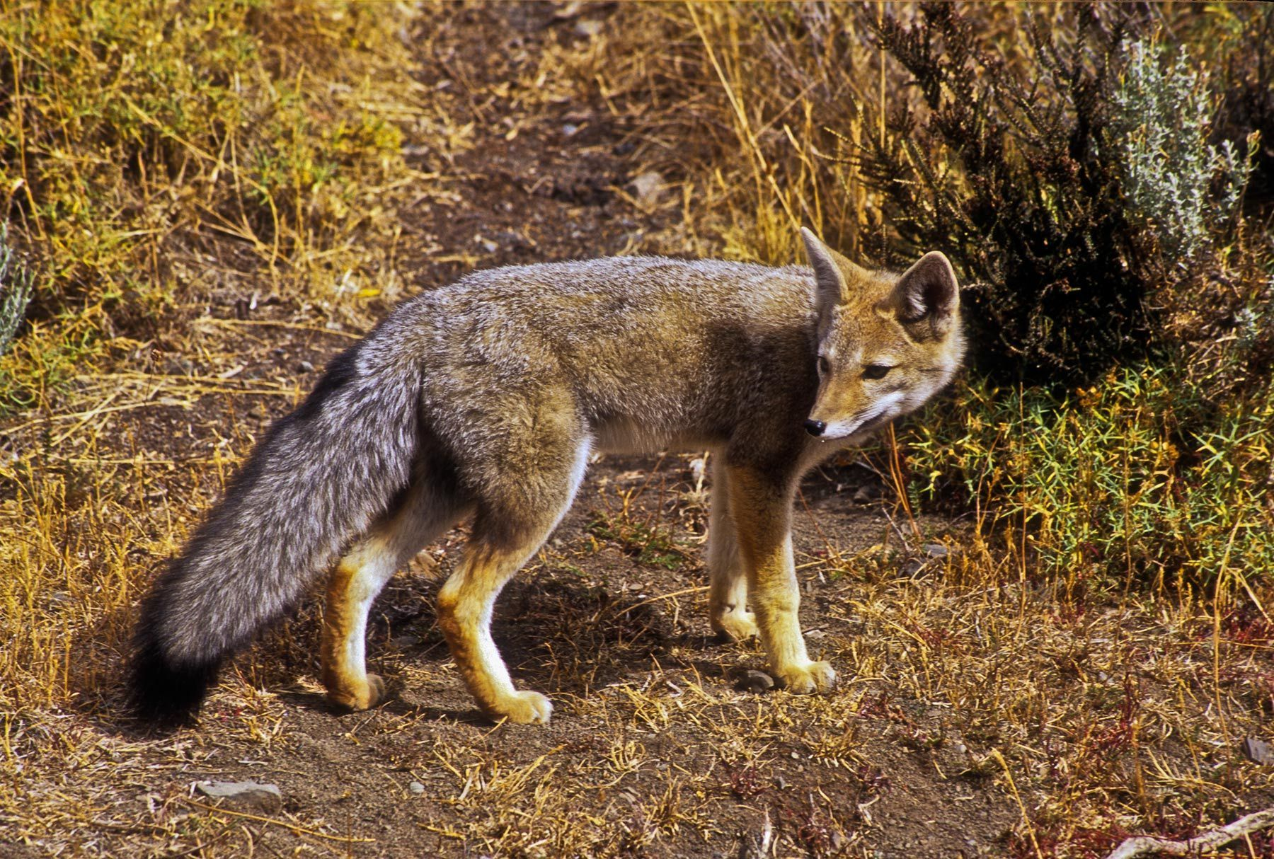 Grey Fox, Torres del Paine National Park, Chile