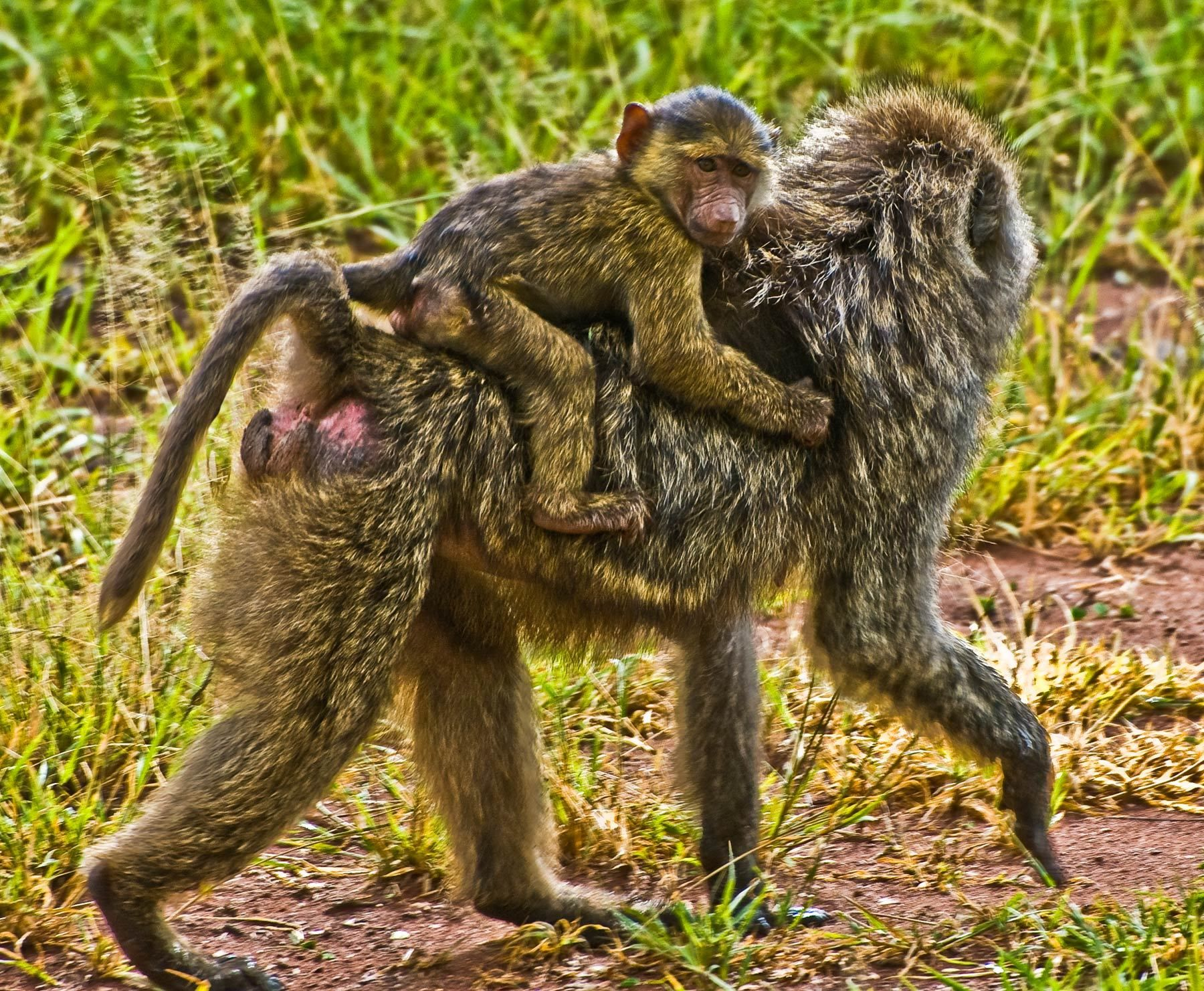 Baby Baboon on Mother's back, Serengeti National Park, Tanzania