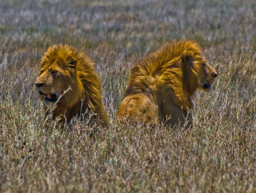 Male Lions, Ngorongoro Crater, Tanzania