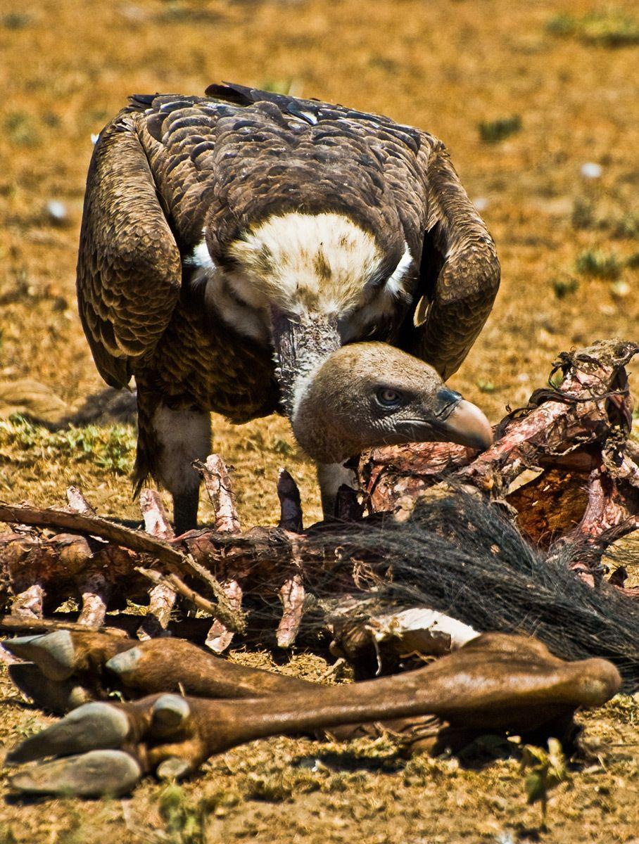 Feeding Vulture, Serengeti National Park, Tanzania