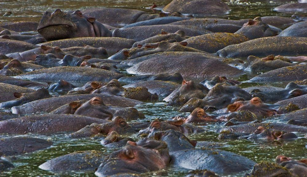 Hippos, Ngorongoro Crater waterhole, Tanzania