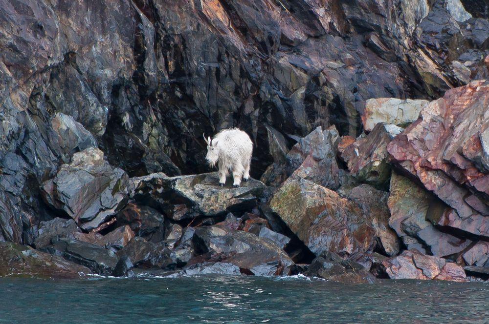 Mountain Goat, Prince William Sound, Alaska