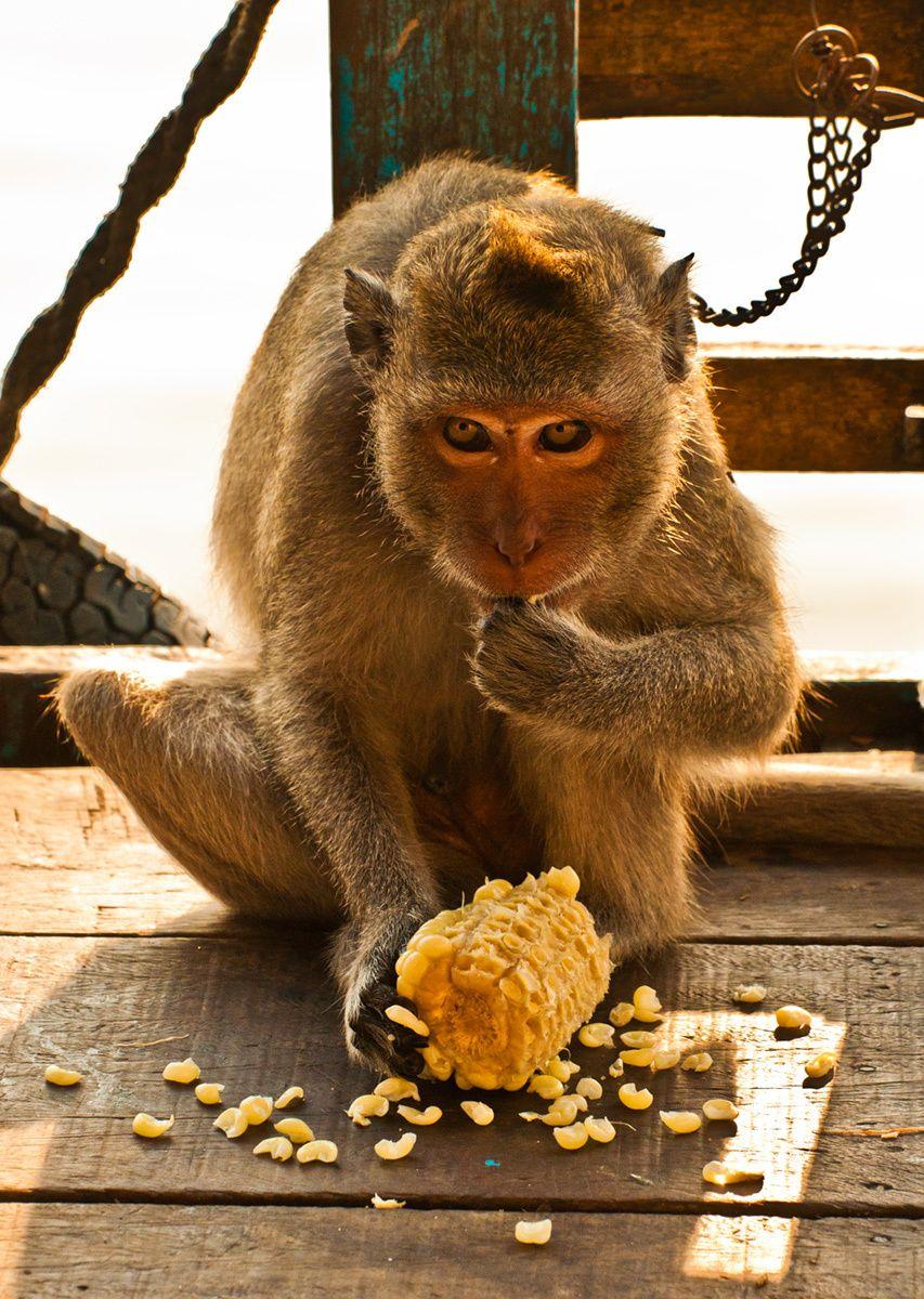Monkey, Tonie Sap Lake, Cambodia