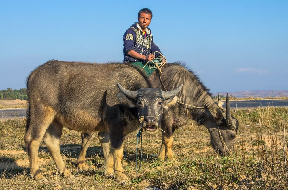 Man riding bull, Myanmar