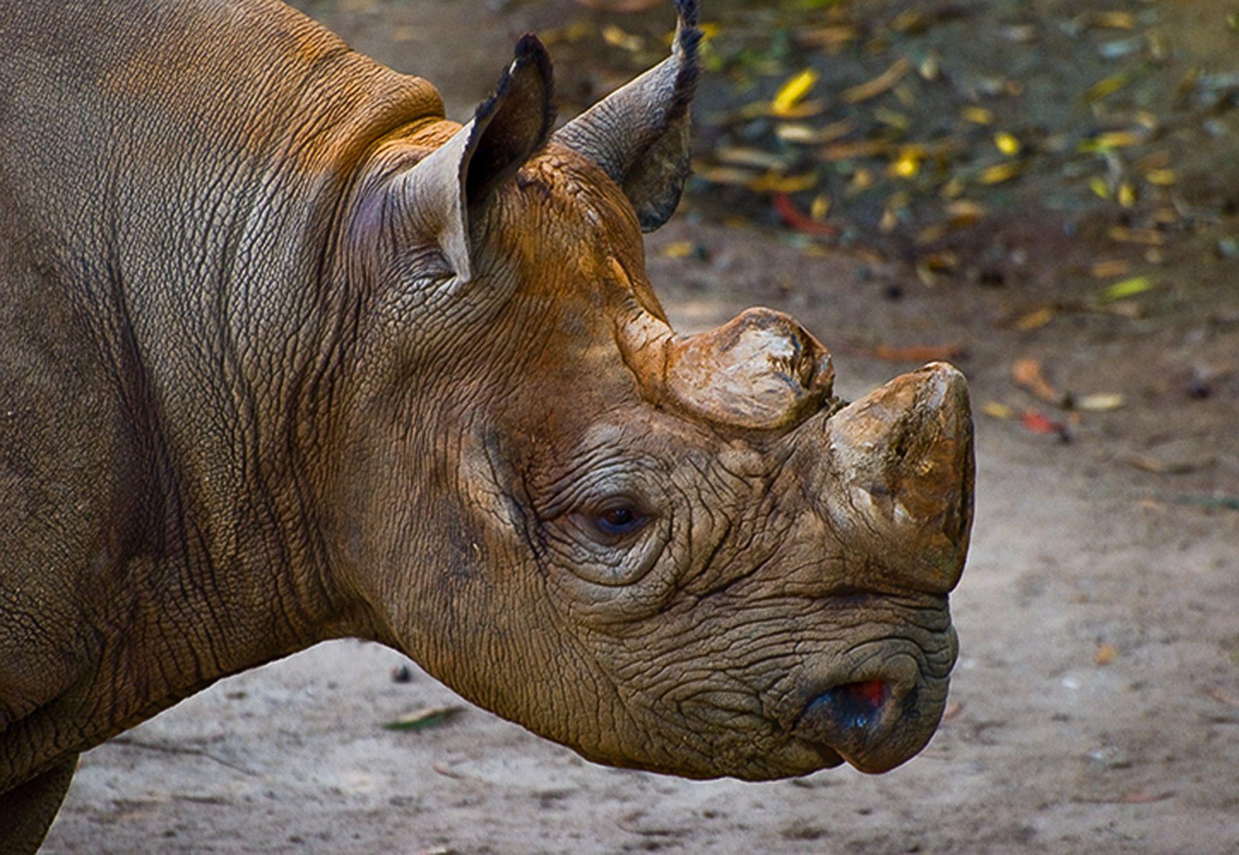 Black Rhinoceros, San Francisco Zoo, California
