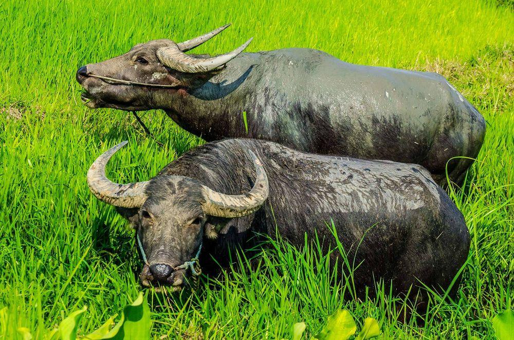 Water Buffalo, Myanmar
